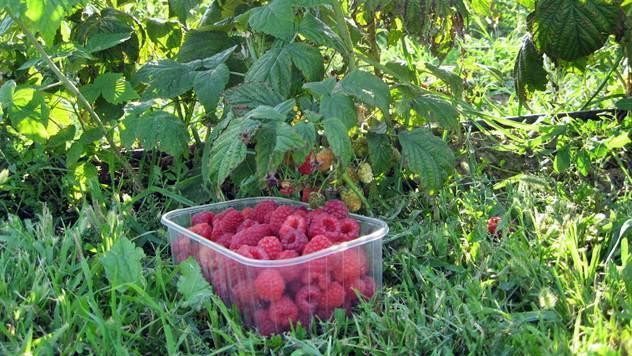 Evo kako da zaštitite kraljicu voća, malinu - © B. Nenković