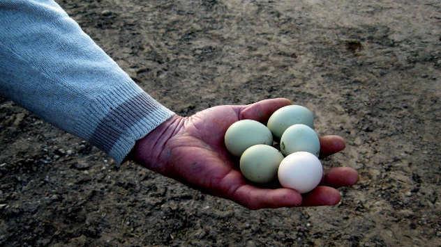 Zelena jaja - foto: Biljana Nenković