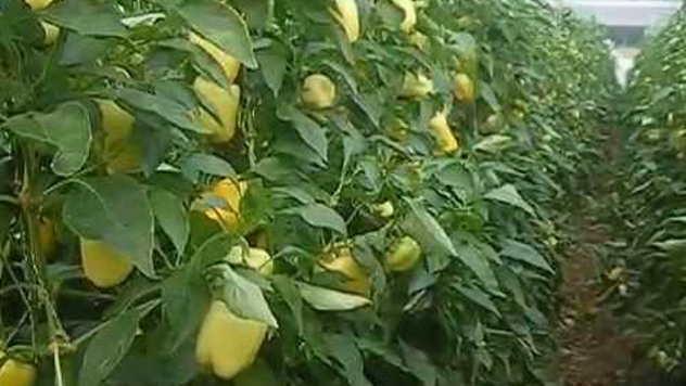 Žuta paprika